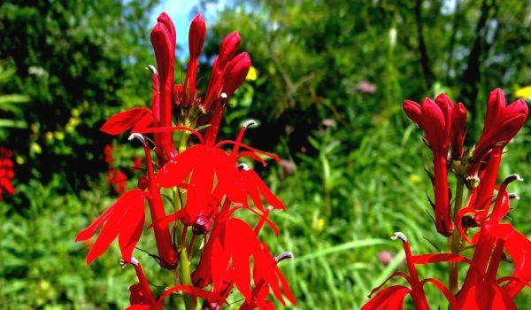 Lobélie cardinale